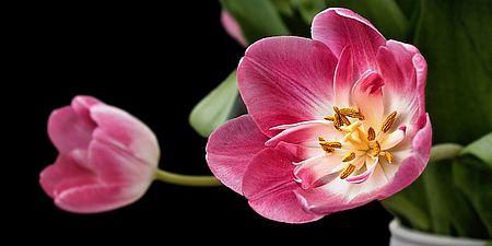 tulip-193354_640
